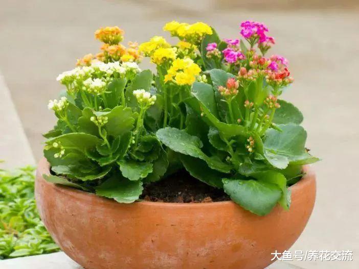 在窗台上养的长寿花盆栽也能每年开花, 注意好这几点就没问题
