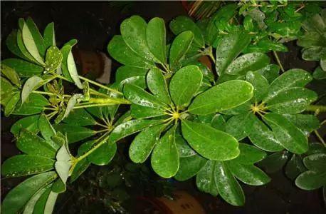 观叶植物针对不同的月份进行养护, 才能叶片常