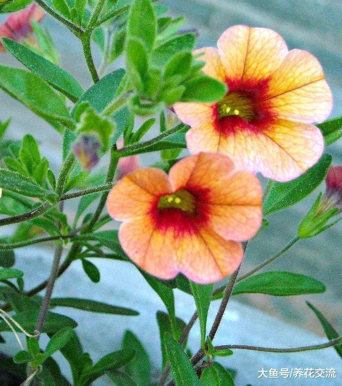 这些花不需要掐顶和修剪就能生长旺盛, 养护得当能常年开花