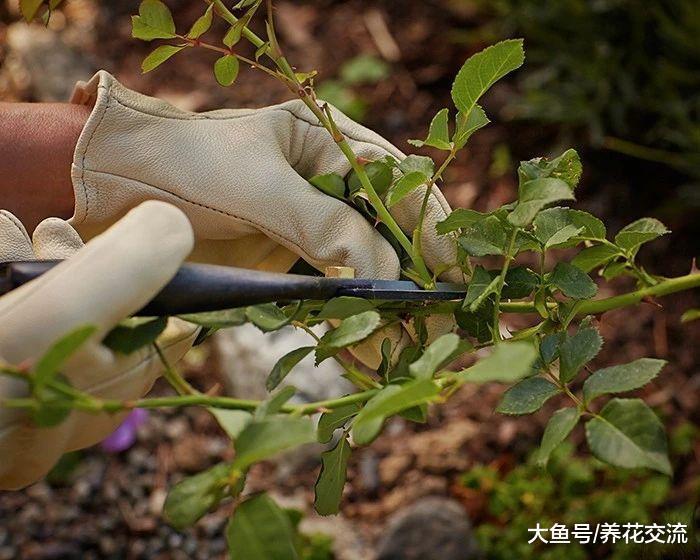 用玫瑰枝条扦插繁殖出来的盆栽小幼苗, 秋季也