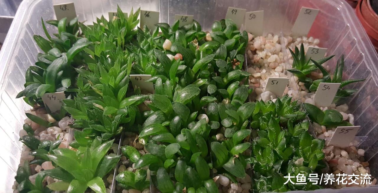 用多肉植物的种子培育盆栽, 几个星期就能生根发芽