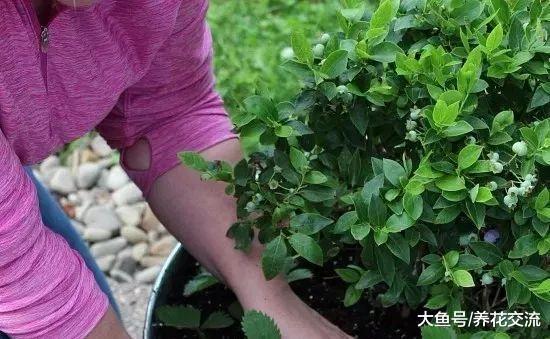 在一个大花盆里适合栽种哪些盆栽水果呢?