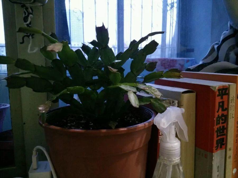 冬天养蟹爪兰, 不注意这几点, 刚开的花就掉!