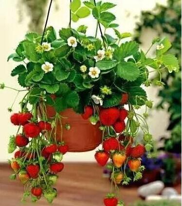 """""""草莓""""不用买, 现在种1盆, 来年开花结果变10盆, 1家人够吃"""