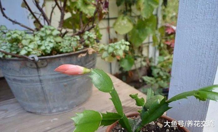 蟹爪兰一年开2次花的技巧, 还能用玻璃罐子繁殖