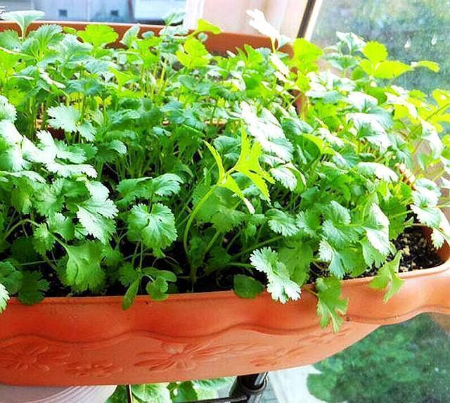 """阳台种香菜, 只用2个""""妙招"""", 发芽齐、长得快, 摘1茬长1茬"""