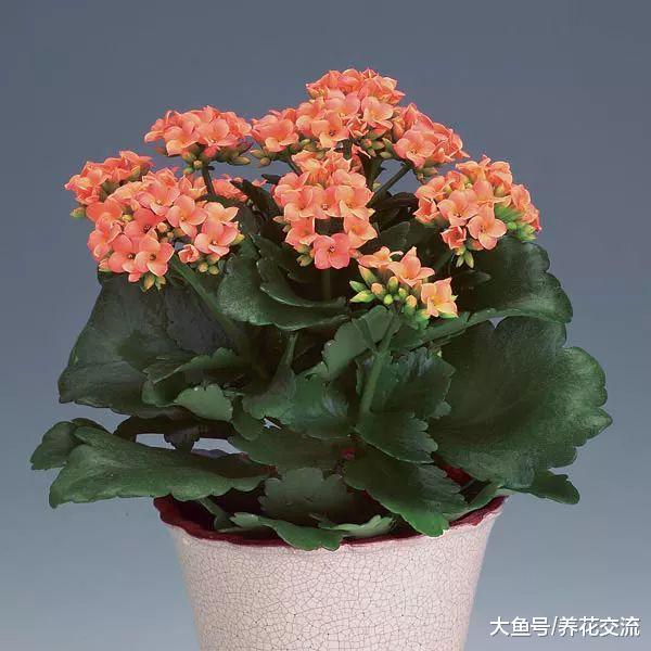 夏季用这些方法养护长寿花, 秋季就能孕育花苞