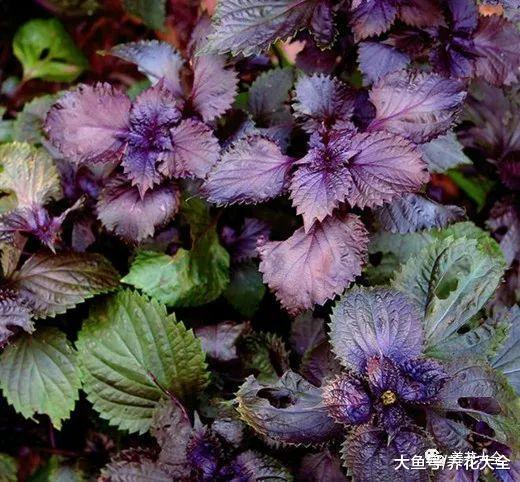 在家种一盆紫苏, 好看又好养, 连调料都不用买了!