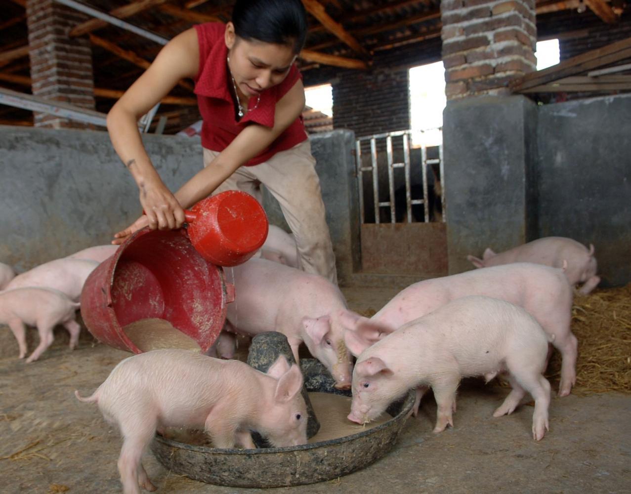 猪市回落不少,养猪利润依然非常可观!