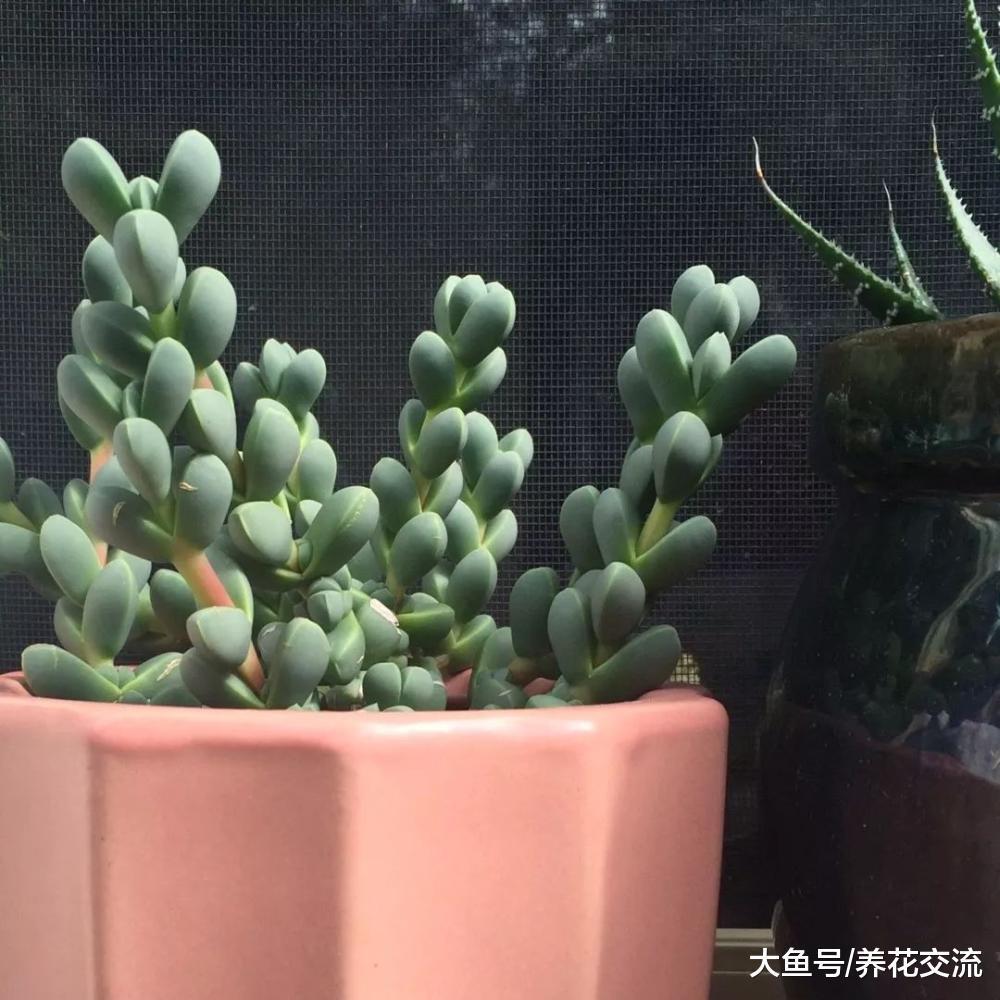 长得像鹿角一样的多肉植物, 还能开出淡黄色的小花