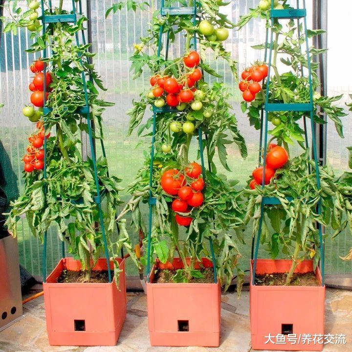 没想到养护西红柿还有这么多的浇水技巧, 想结果更多很简单