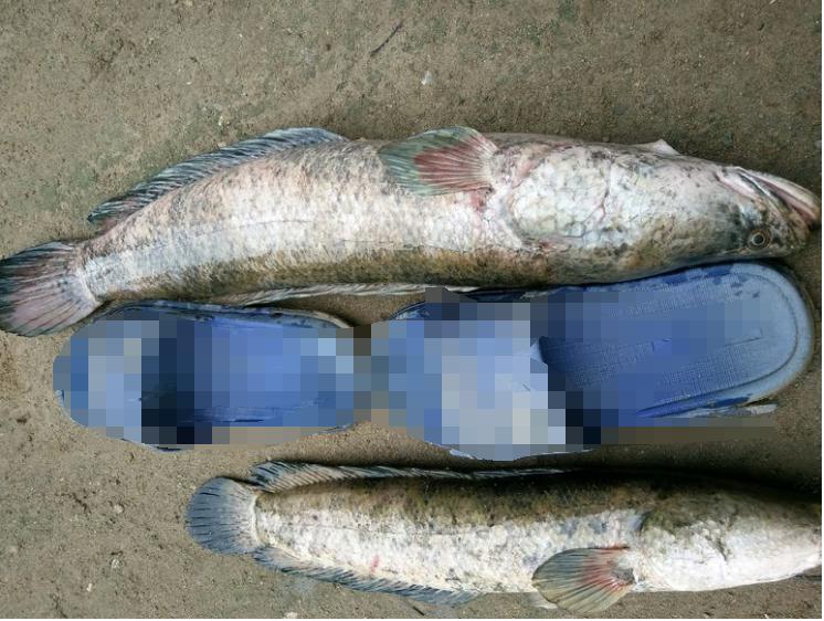 烧毁藕塘年夜黑鱼成群, 小鱼小虾吃个粗光, 老农忧郁众多成灾