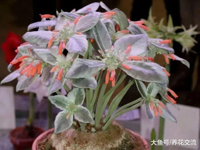 叶子是银白色绒毛的断崖女王, 还能开出橘红色的精致花朵