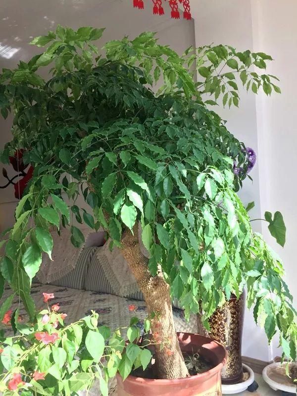 """这10种""""福气树"""", 吸害又增湿, 年前赶紧养一盆!"""
