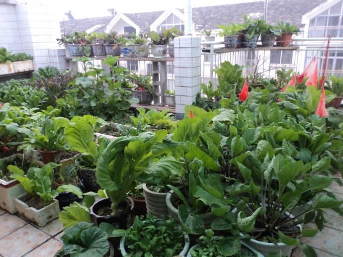 """用点砖头、塑料桶, 把露台变成""""小菜园"""", 菜蔬长得油汪汪!"""