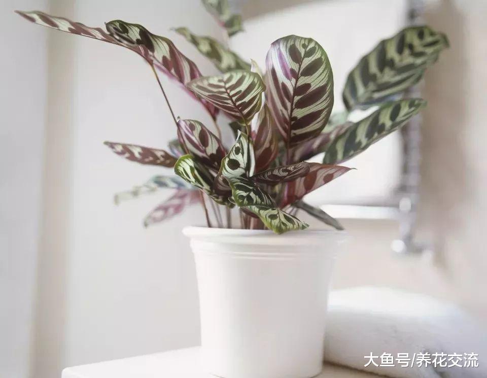 为什么你家里的孔雀竹芋叶子老是蜷缩枯萎, 原