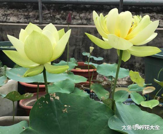 天热就在家养盆莲花, 不用出门都有花赏!
