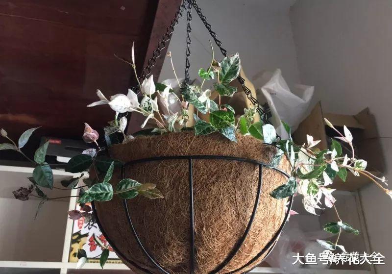 把这些花吊起来养, 不但花开满盆, 还不占地!