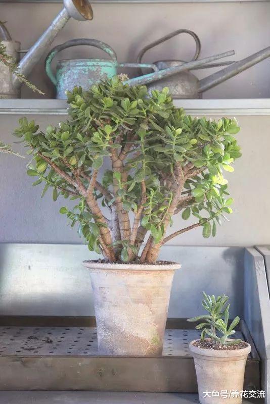 大型盆栽植物栽种的一些实用技巧, 如何照顾才能生长更佳