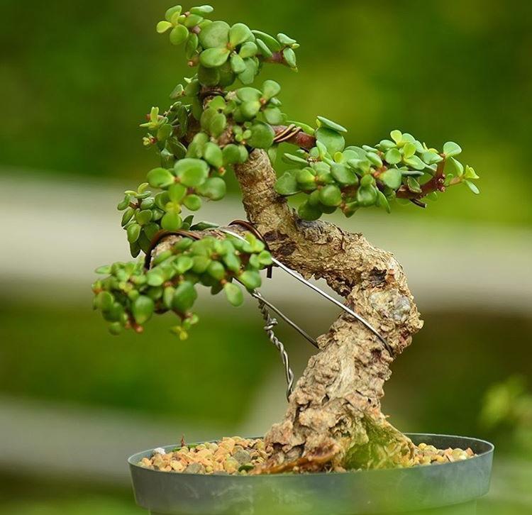 """""""马齿笕树""""这么玩, 做出这种精品""""盆景"""", 你就是""""大师""""!"""