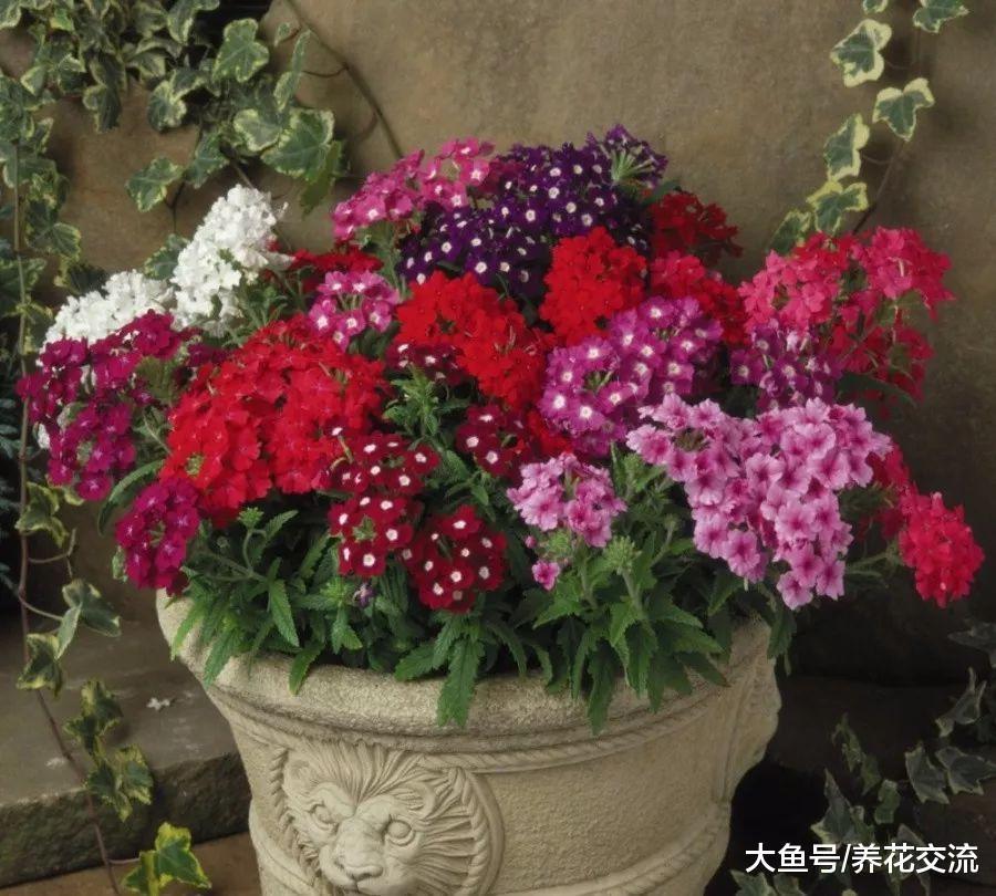 美女樱撒点种子到土壤中, 几周后长满一大盆迷人的小花