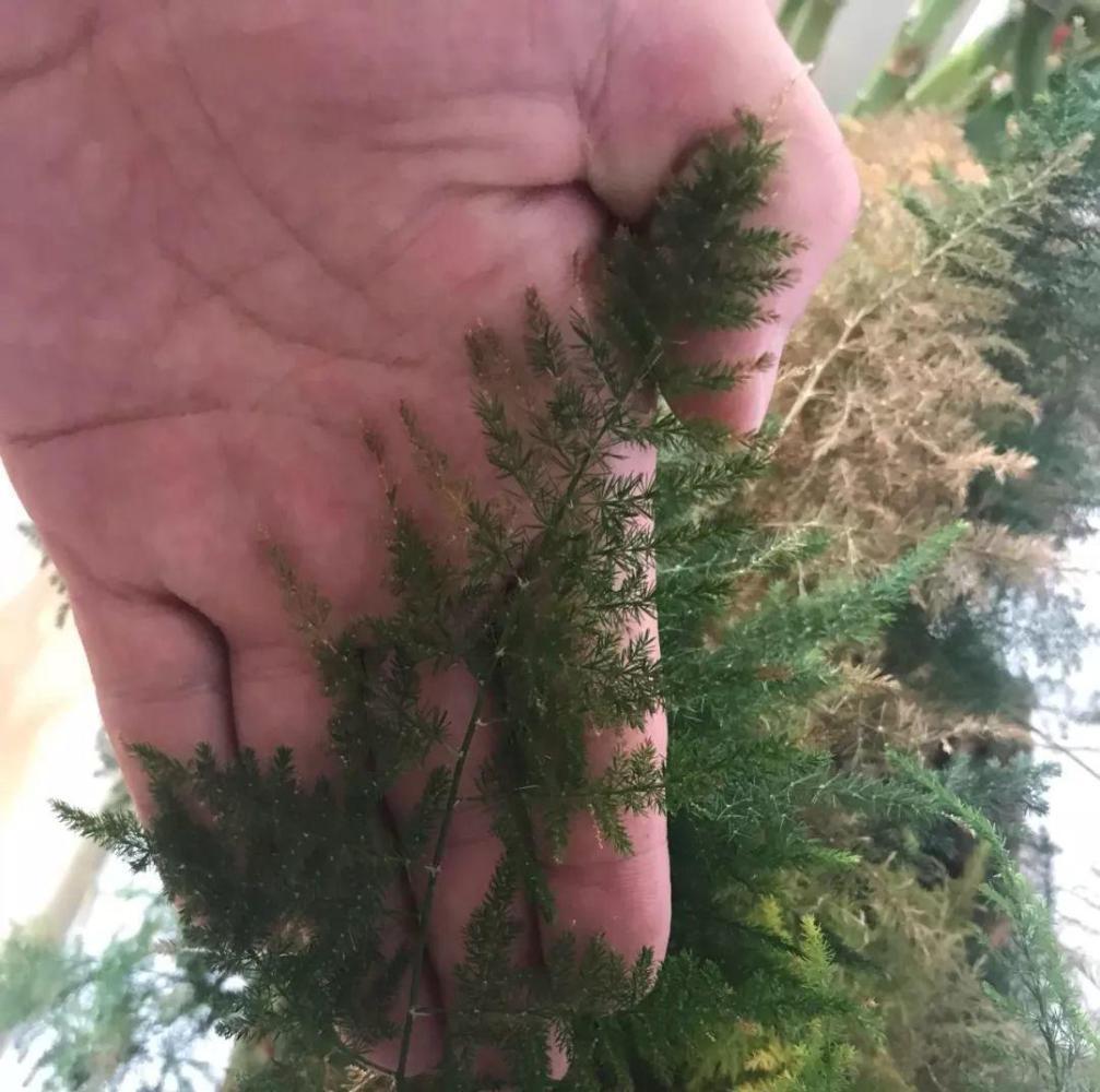 文竹喝点营养水, 叶子不黄了, 一夜冒芽绿油油!