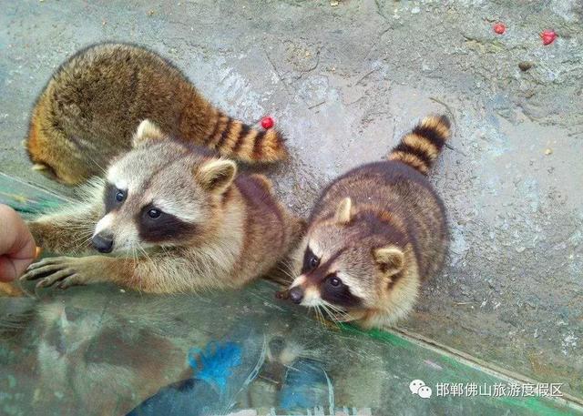 作为邯郸人你还不知道? 野生动物园就要开放了, 一定要带孩子去看