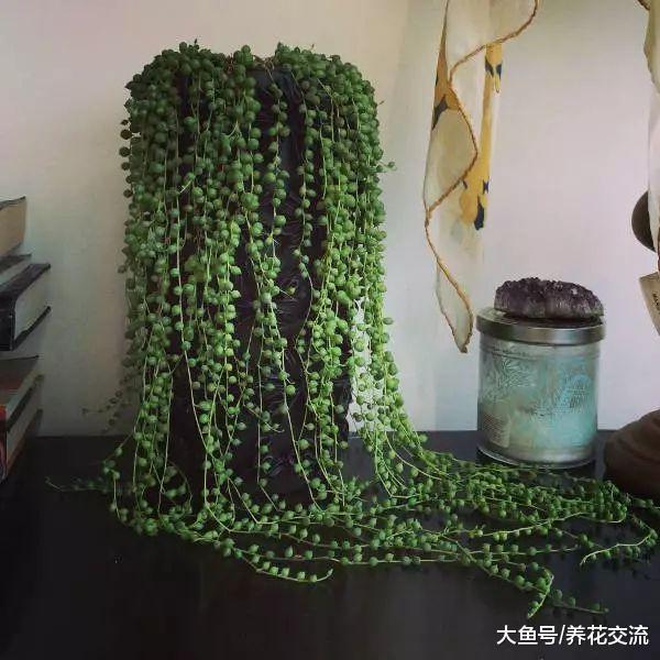 室内养珍珠吊兰常遇到的十个问题, 养好之后就能变成瀑布一般
