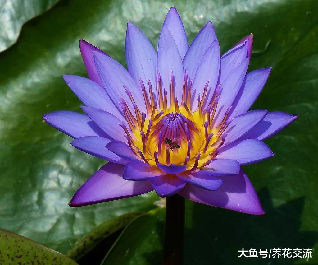 剪下来的睡莲用这些技巧能保鲜更久, 和其他的花卉的保鲜区别很大
