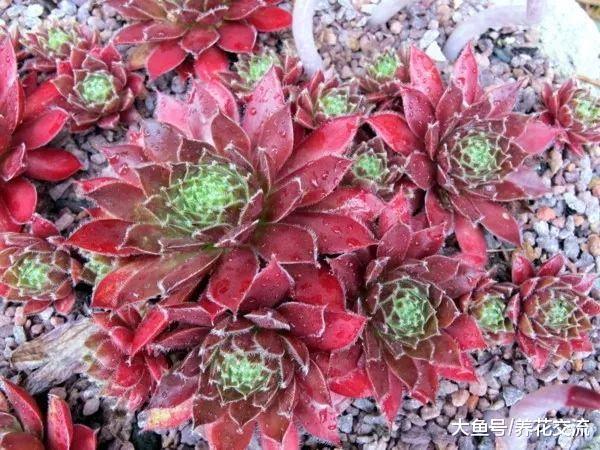 颜色特别艳丽的9种多肉植物, 便宜好养的肉型盆栽