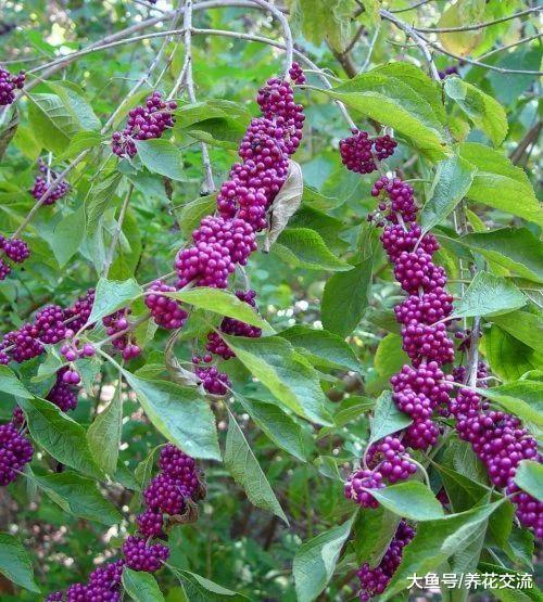 冬天能够开出灿烂紫色浆果的紫珠, 特别耐寒的观果植物