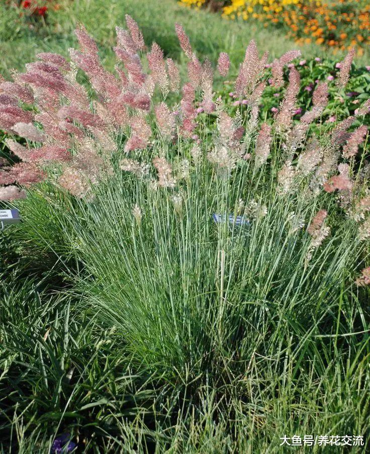 这些盆栽养护的观赏草都养不活, 那其他花就更难养了