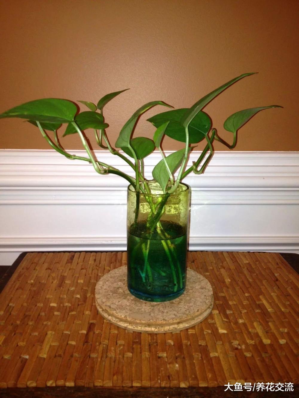 栽培盆栽绿萝用什么土壤最好, 对花盆有什么要求?