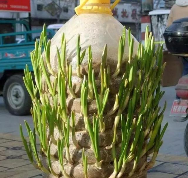 """1个油桶1斤蒜, 10天长成""""蒜苗柱"""", 浇点水1个冬天吃不完!"""