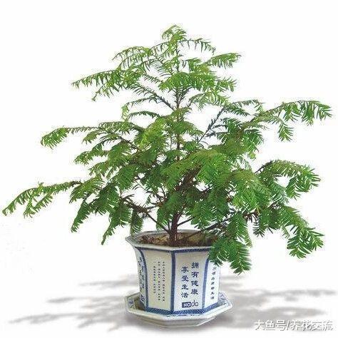 红豆杉养家里怎样才不容易黄叶, 你更喜欢哪个品种?