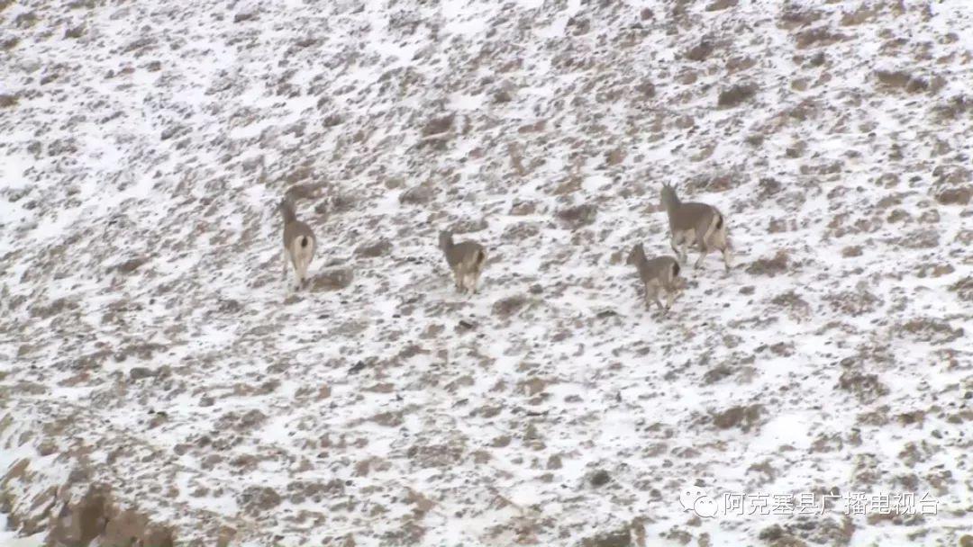 阿克塞:岩羊在雪后当金山自由觅食
