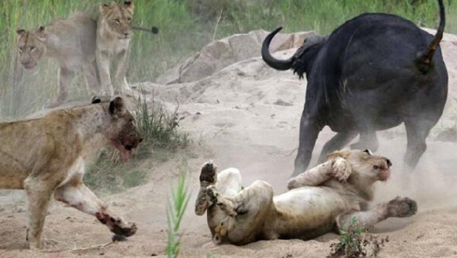 狮子饥饿难耐围堵野牛,愤怒的野牛顶死三头狮子才倒下,一顶满天飞