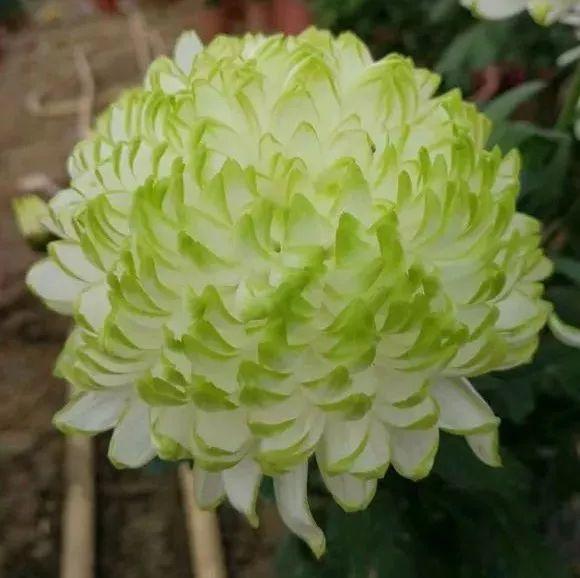 这50种菊花, 圆滚滚的还带爪子, 美的让人流口