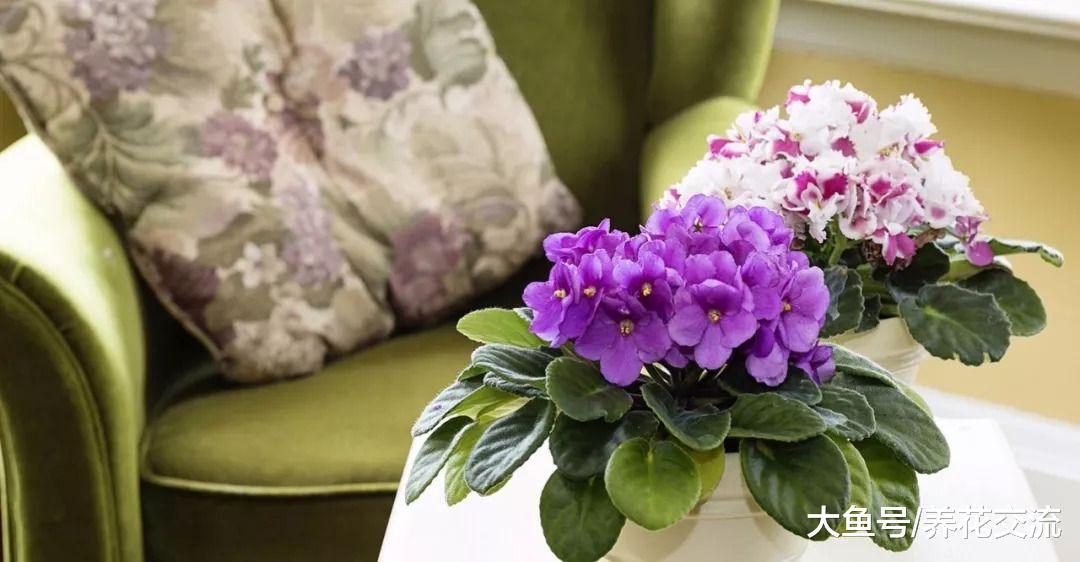 想要让非洲紫罗兰常年开花, 这个浇水姿势很关
