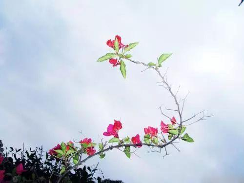 三角梅落叶, 掉花离不开这些原因! 这样处理才能开花长久叶片长绿!