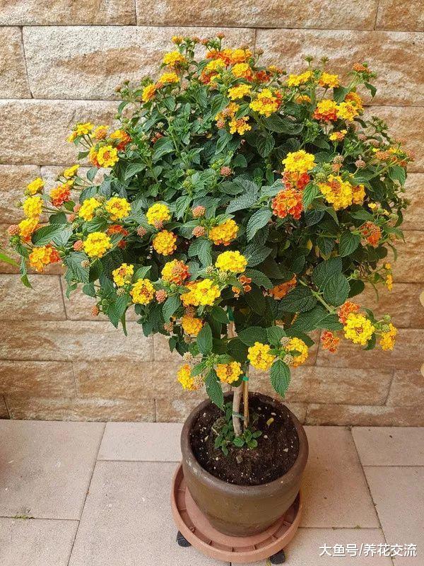 耐盐碱、容易开花的五色梅, 没想到还能养成盆栽灌木