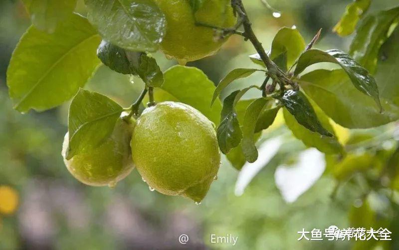 在家种一棵柠檬树, 好看又好养, 结的果子吃不完!