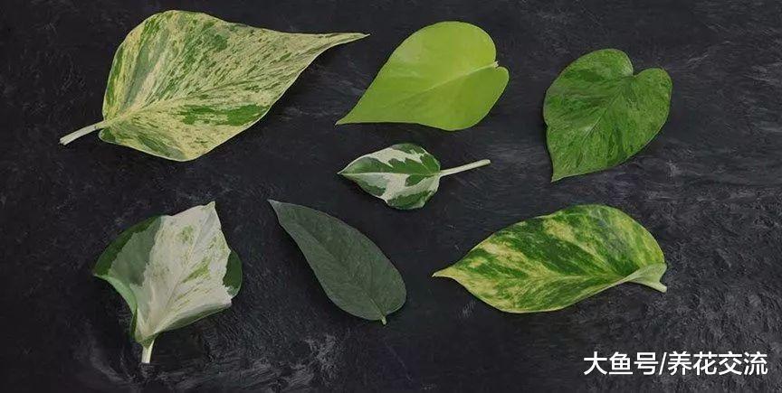 最寻常的盆栽绿萝, 没想到也有这么多的品种,