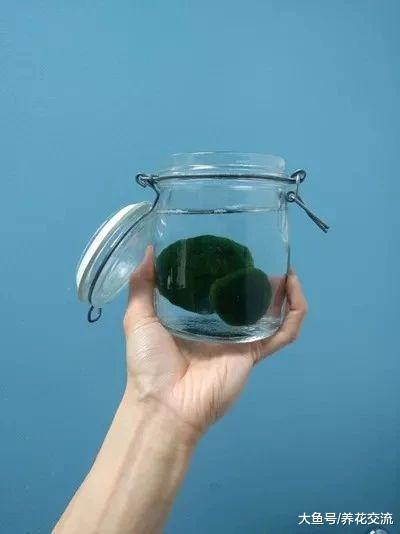 在家里让人喜爱的海藻球宠物植物, 只需要一点清水就能存活