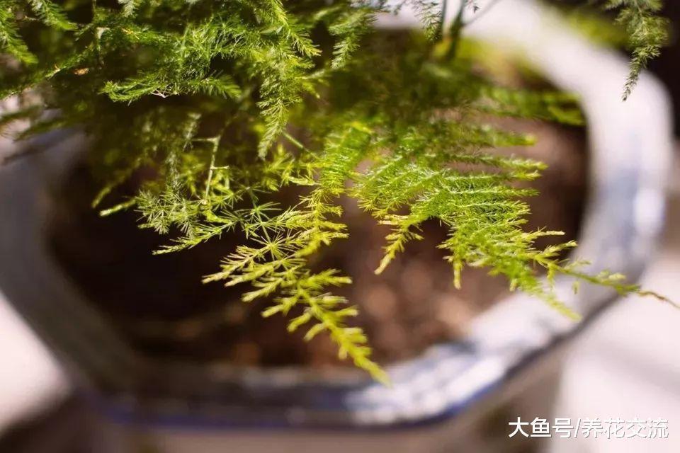 文竹养桌面上怎样才能常年翠绿, 根系不长咋办?
