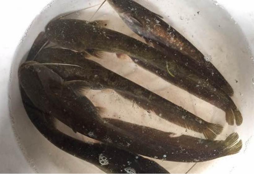 火底不屈静! 一群年夜鱼毫无所惧的吞吃小鱼, 单单被钓起
