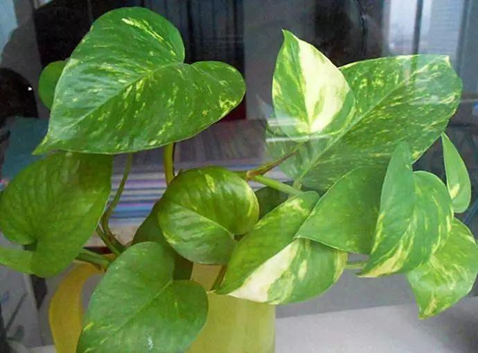 绿萝叶子藏有小机关, 教你一招, 呼呼冒芽长满盆!