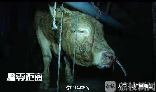 12小时被注水120斤, 黄牛痛到跪倒 监管部门: 两屠宰点已被取缔