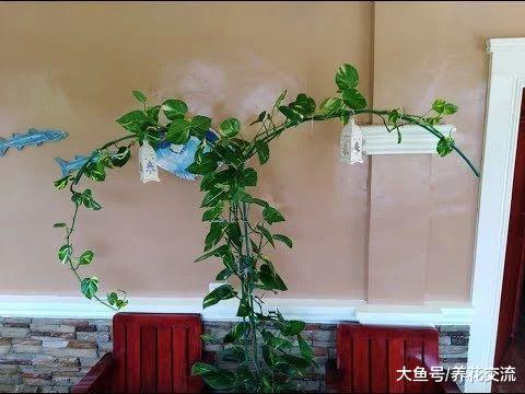 办公室遍地都是绿萝, 用这种方法繁殖看起来就