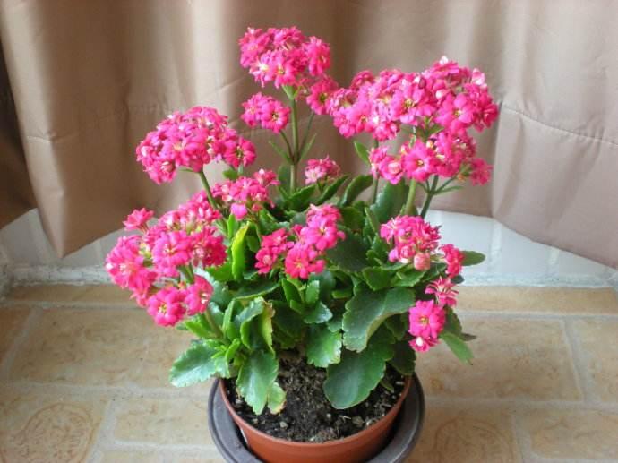 """长寿花""""开花""""不旺? 花盆土壤里放点它, 30天"""